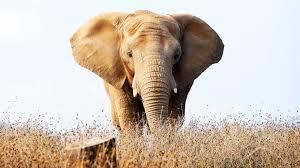 HBO-elephants